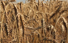 Video: Barley is one of Scotland's most important crops and a fundamental component of many key industries, but yet remains a little-known harvest. This is surprising considering how important and influential Scotland's brewing and whisky industries are. Despite this, few people outside the farming industry appreciate barley's connection …