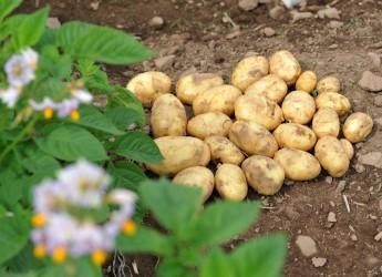 Potatoes in a field (c) James Hutton Institute
