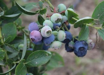 An image of blueberries from a research project