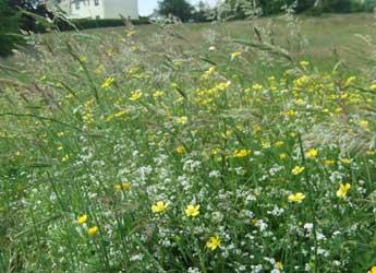 Meadow at Hogganfield Park, Glasgow that has been enhanced for biodiversity