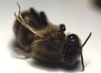 Bee with DWV - By Stefan de Konink (Own work) [CC0], via Wikimedia Commons