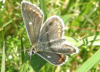 North Brown Argus butterfly © Geoff Wilkinson