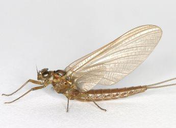 Upland summer mayfly (Ameletus inopinatus) (c) Cyril Bennett