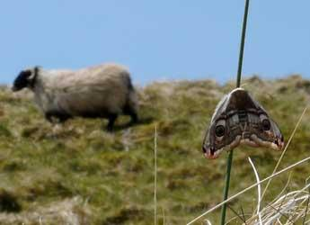 Emperor moth and sheep in the background