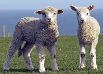 Two lambs in a field