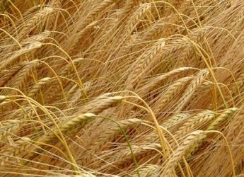 An image of barley crops