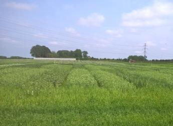 Intercropping is an important strand of research at the James Hutton Institute
