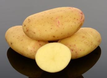 Lady Balfour potatoes (c) James Hutton Institute