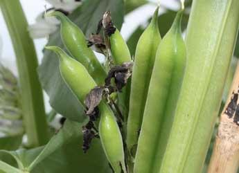 Bean crop (c) James Hutton Institute