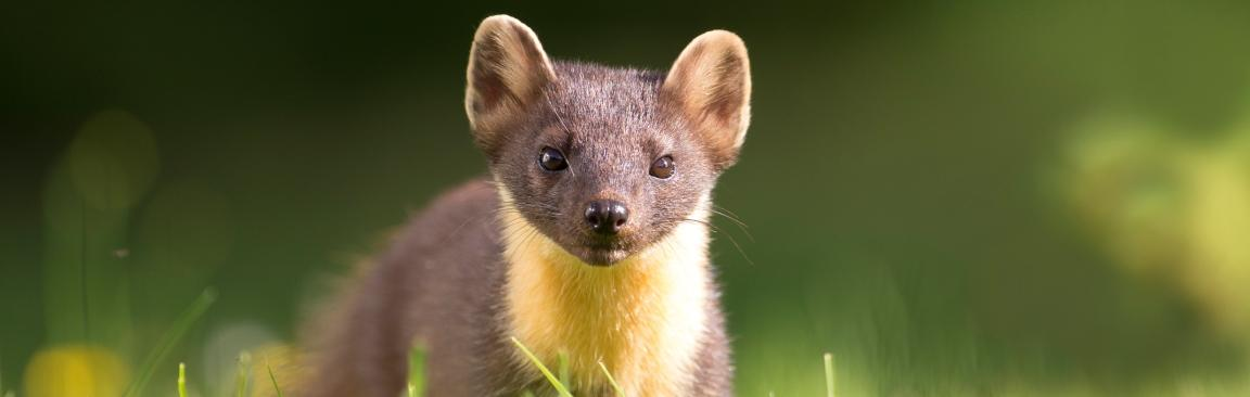 Pine marten (image Scotland: The Big Picture)