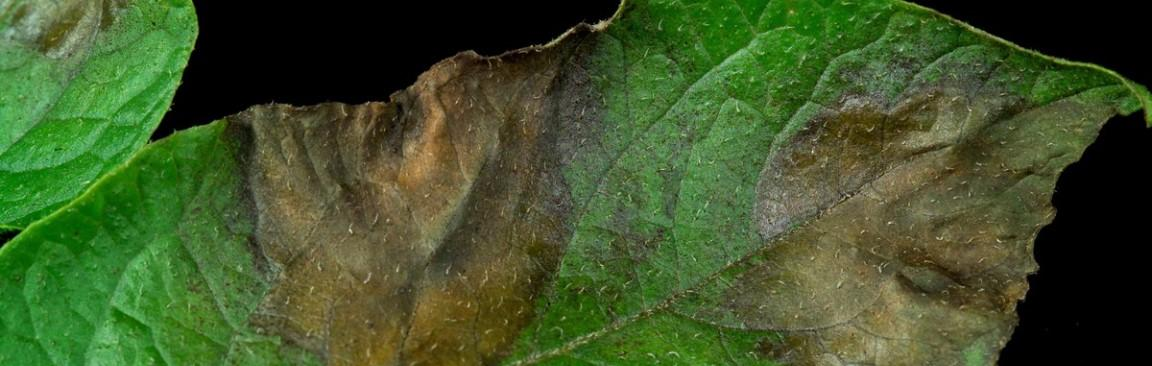 Potato plant affected by late blight (c) James Hutton Institute