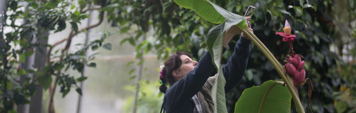 A person taking a picture of a banana palm plant in flower