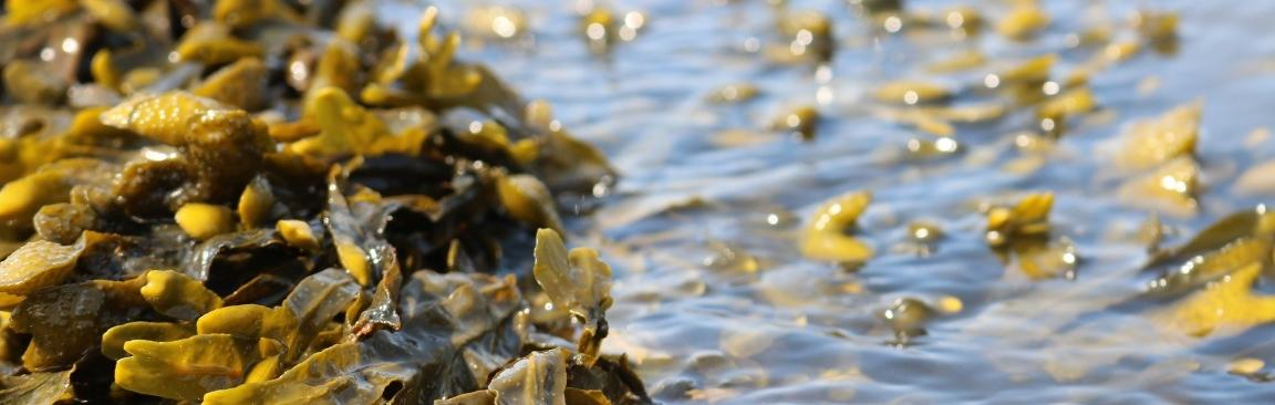 Extracts from UK brown seaweeds have been shown to have antiviral properties