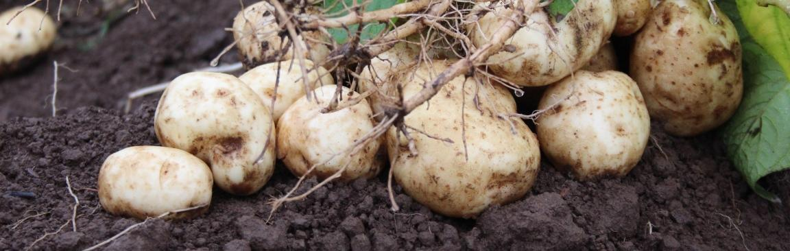 The finding will assist breeders in developing more resilient potato varieties