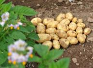 Potatoes in a field (c) James Hutton Institute