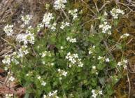 Arabidopsis halleri (Wikicommons)
