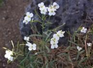 """Arabidopsis petraea sl1"" by Stefan.lefnaer - Own work. Licensed under CC BY-SA"