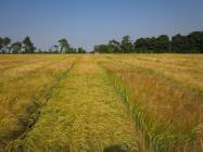 Barley fields (c) James Hutton Institute