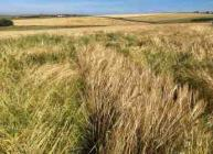 Bere barley plot (c) James Hutton Institute