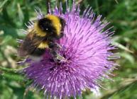 Photograph of a bumblebee (courtesy of Jenni Stockan)