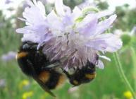 Bees on flower © Samantha Charman