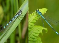 Damsels (c) James Hutton Institute