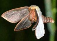 Displaying male Ghost Moth