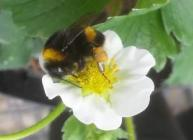 Pollinator (c) James Hutton Institute