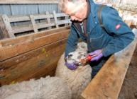 Working with sheep at Glensaugh (c) James Hutton Institute