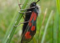 Slender Scotch Burnet moth