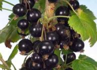 Photograph of Ben Klibreck blackcurrants bred at the Institute