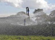 Photograph of irrigation nozzles spraying water on blackcurrants