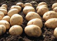 Potatoes lying on soil