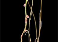 Image of root nodules - these occur on the roots of plants