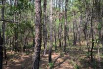 Young pine forest recently burnt