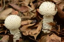 Two young fruit bodies of the spectacular Amanita virgineoides