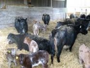 Cows inside barn