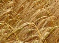 Barley (c) James Hutton Institute