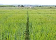 Barley field at Cereals in Practice 2015 (c) James Hutton Institute