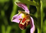 Bee orchid © Donald Macauley, Wikimedia Commons