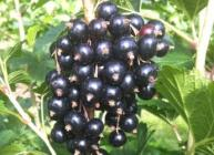 Blackcurrants (c) James Hutton Institute