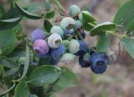 Blueberry bush (c) James Hutton Institute