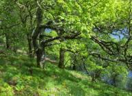Atlantic oakwood pasture (David Genney)