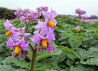 Photograph of potato plants in flower