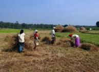Rice paddy harvest in India (Bishnu Sarangi/Pixabay)