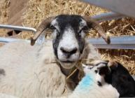 Sheep farming at Glensaugh (c) James Hutton Institute