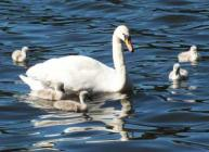 Photograph of swan and cygnets by Aaron Hawthorne, July Water Works winner