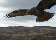 Buzzard in mid-flight, image captured by WiSE