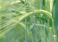 Ear of barley in field