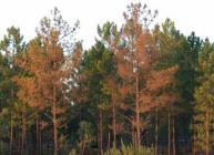 Photograph showing nematode damaged trees in Portugal
